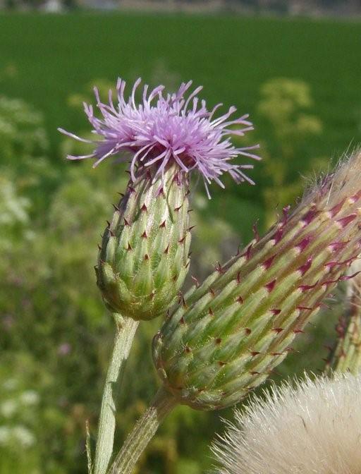 Cirsium arvense_flower heads_copyright_2009_NealKramer