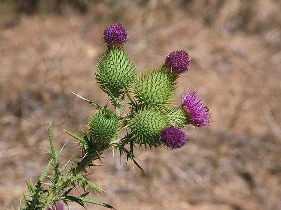 Cirsium vulgare_bull thistle_flowering stem_JM DiTomaso
