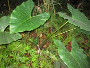 Colocasia esculenta_Moorea Biocode