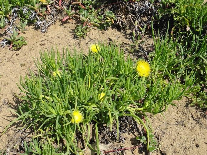 Conicosia pugioniformis_growth habit_copyright_2011_NealKramer