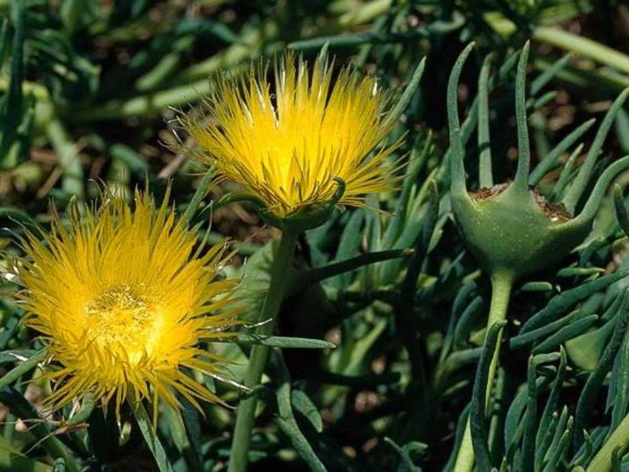 Conicosia pugioniformis_roundleaf iceplant_JM DiTomaso