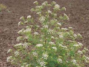 Conium maculatum_poison hemlock_plantb_JM DiTomaso