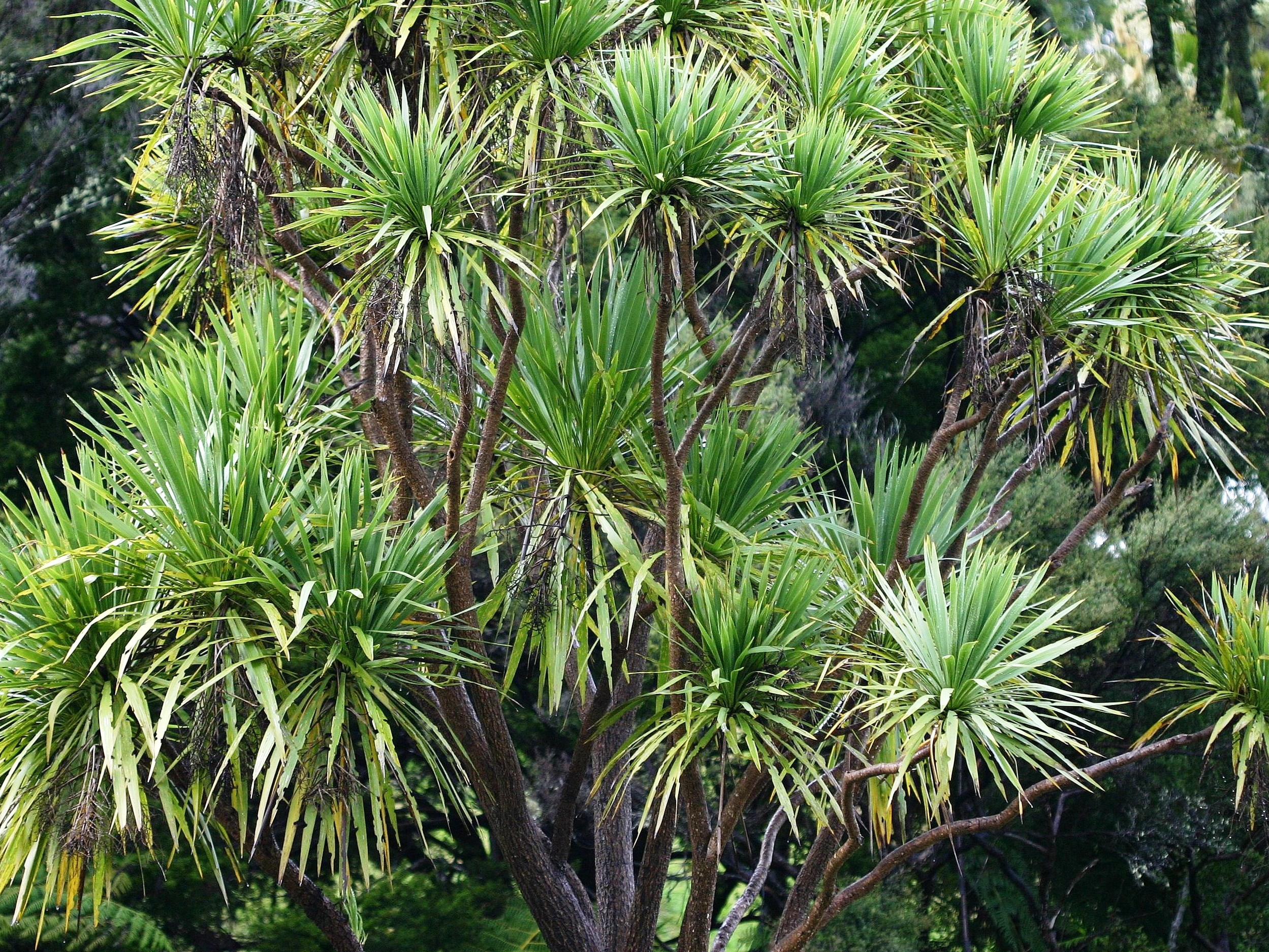 Cordyline australis by Tony Foster