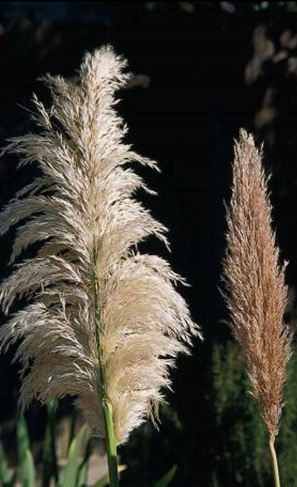 Cortaderia selloana_female (L) and male (R) inflorescence_JM Di Tomaso