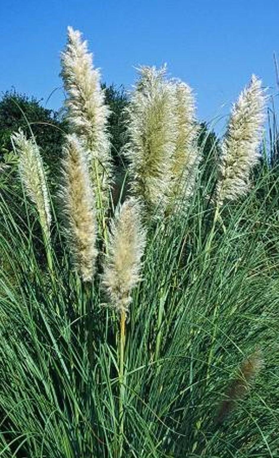 Cortaderia selloana_growth habit (female)_ JM Di Tomaso