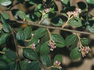 Cotoneaster franchetii_orange cotoneaster_JM DiTomaso