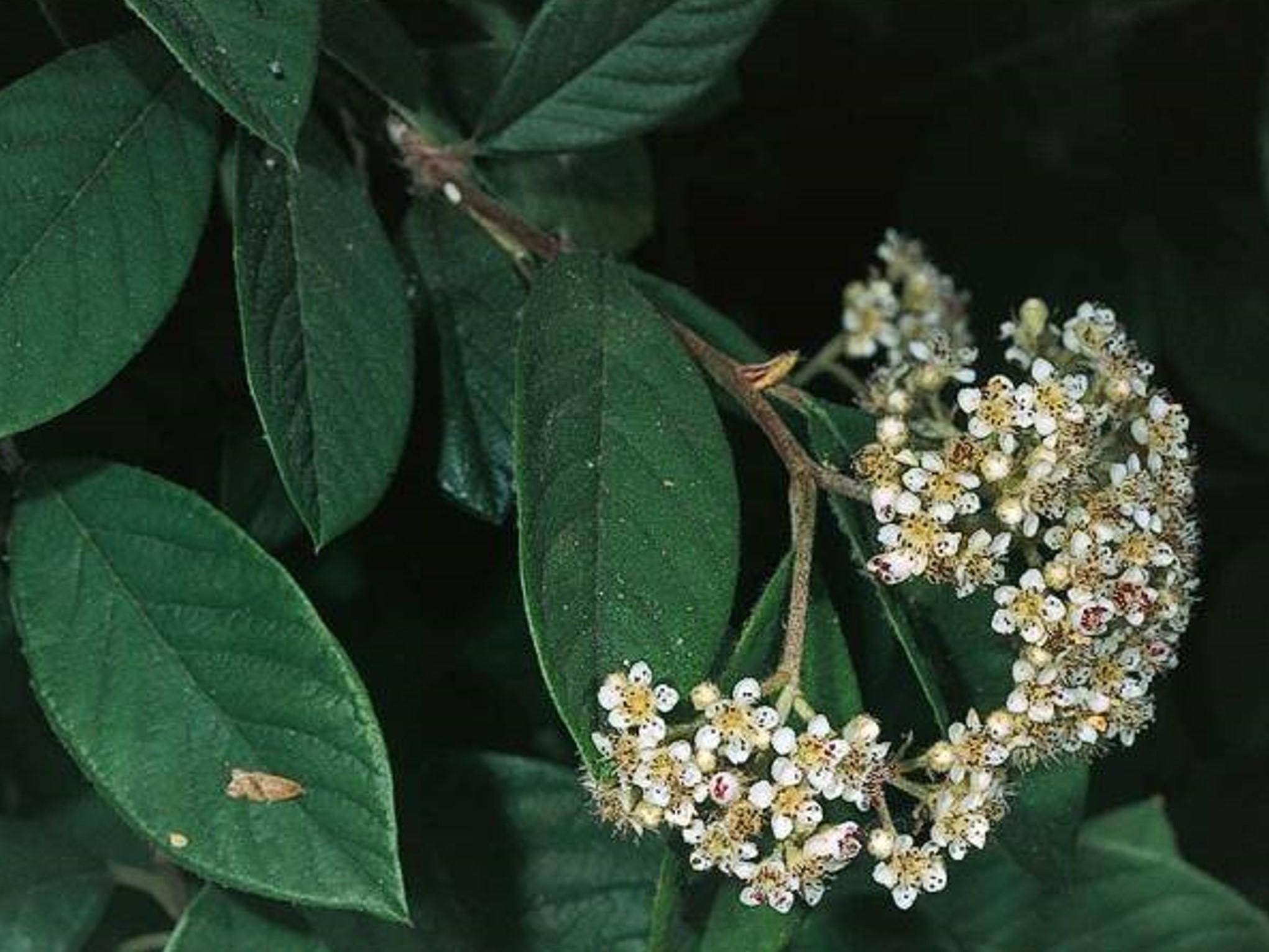 Cotoneaster lacteus_flowering_JM DiTomaso