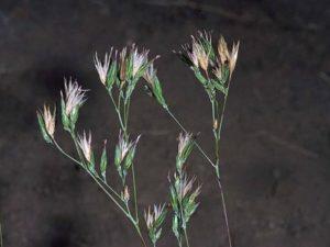 Crupina vulgaris_Common crupina_flowering stem_JM DiTomaso