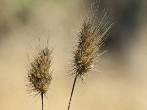 Cynosurus echinatus_hedgehog dogtail grass_ JM Di Tomaso