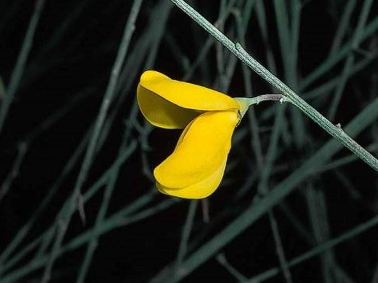 Cytisus striatus_Portuguese broom_JM DiTomaso