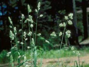 Dactylis glomerata_Orchardgrass_ JM Di Tomaso