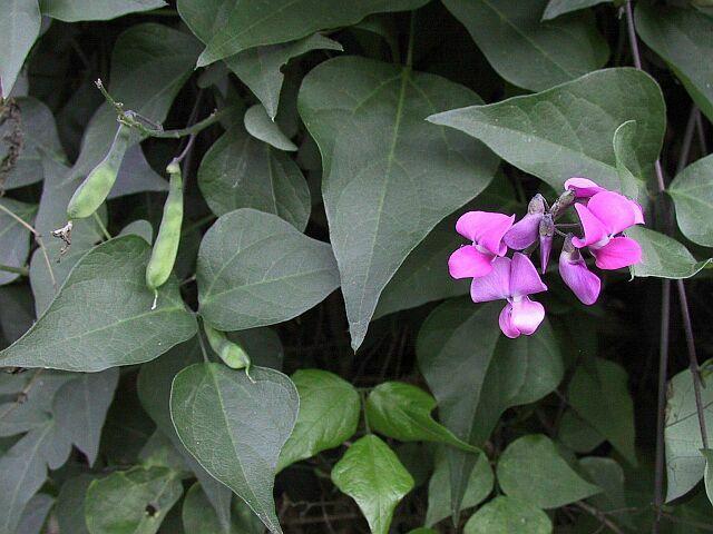 Dipogon lignosus_Unknown Wikimedia