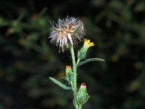 Dittrichia graveolens_stinkwort_flower and fruit_JM DiTomaso