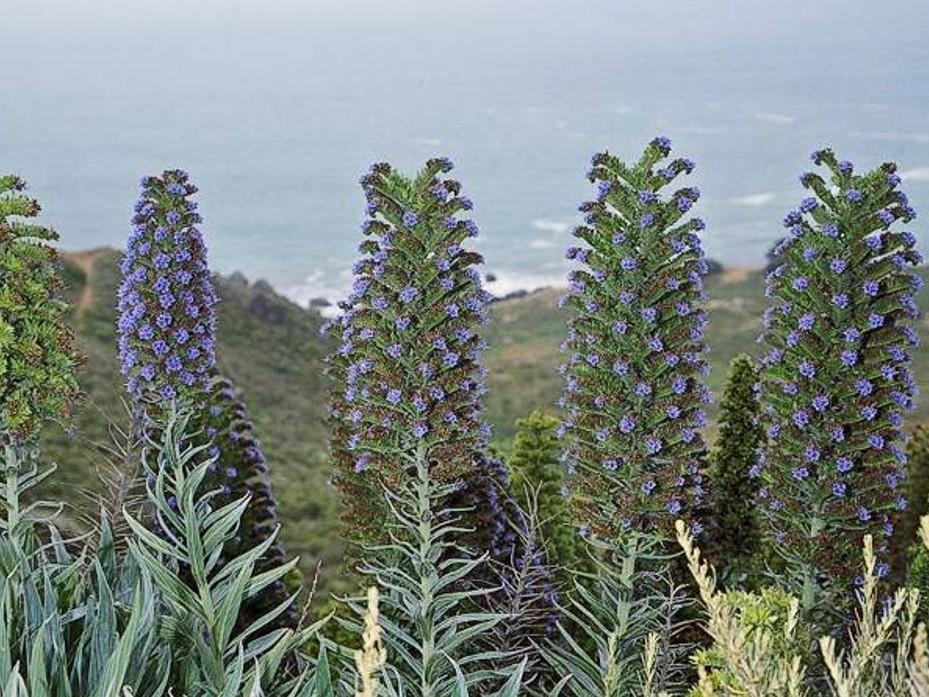 Echium candicans_Pride of Madiera_plants_JM DiTomaso
