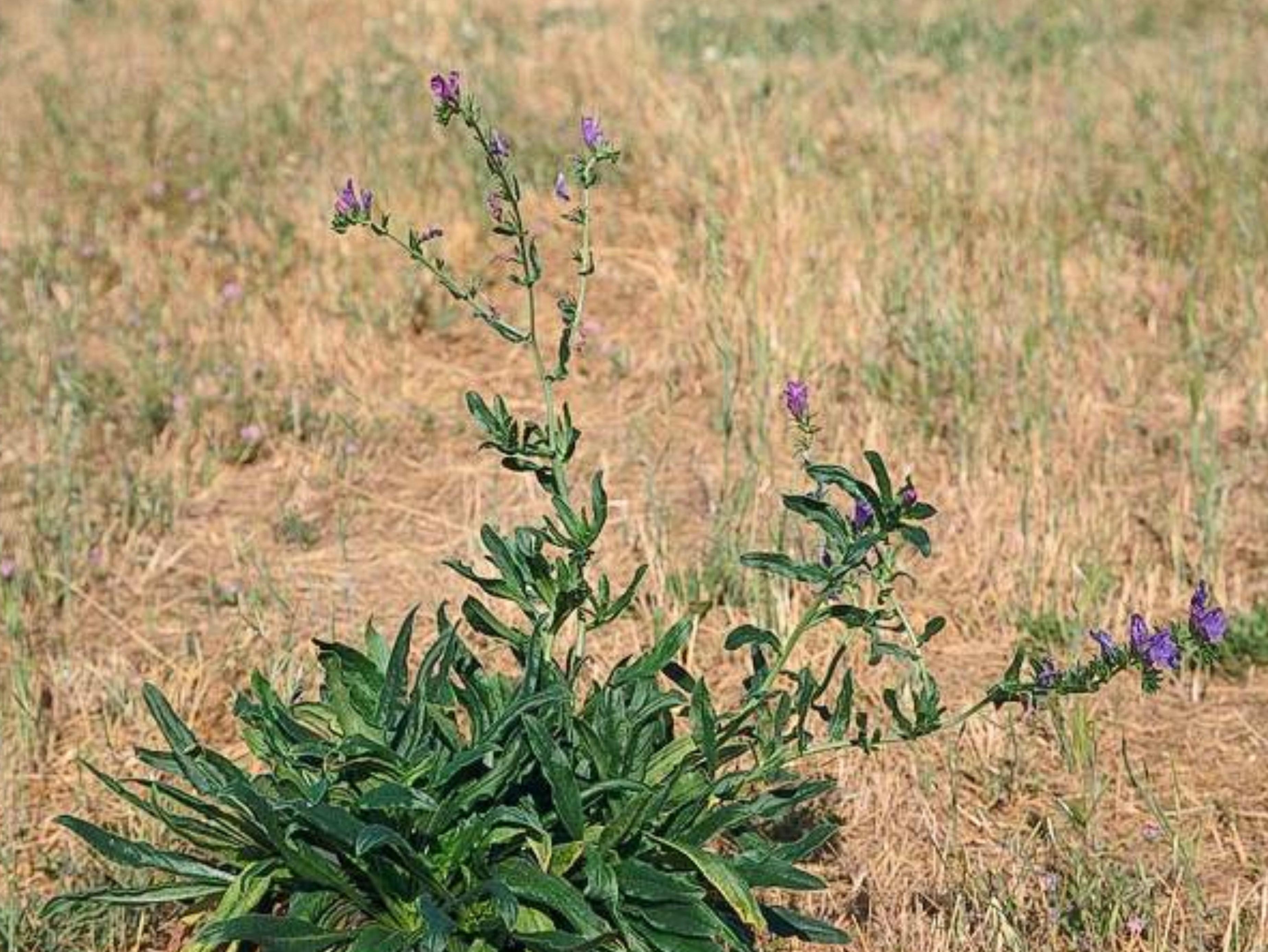 Echium plantagineum_C070-06