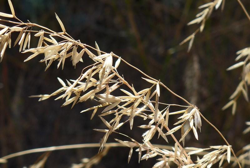 Ehrharta calycina_inflorescence_copyright 2014_NealKramer