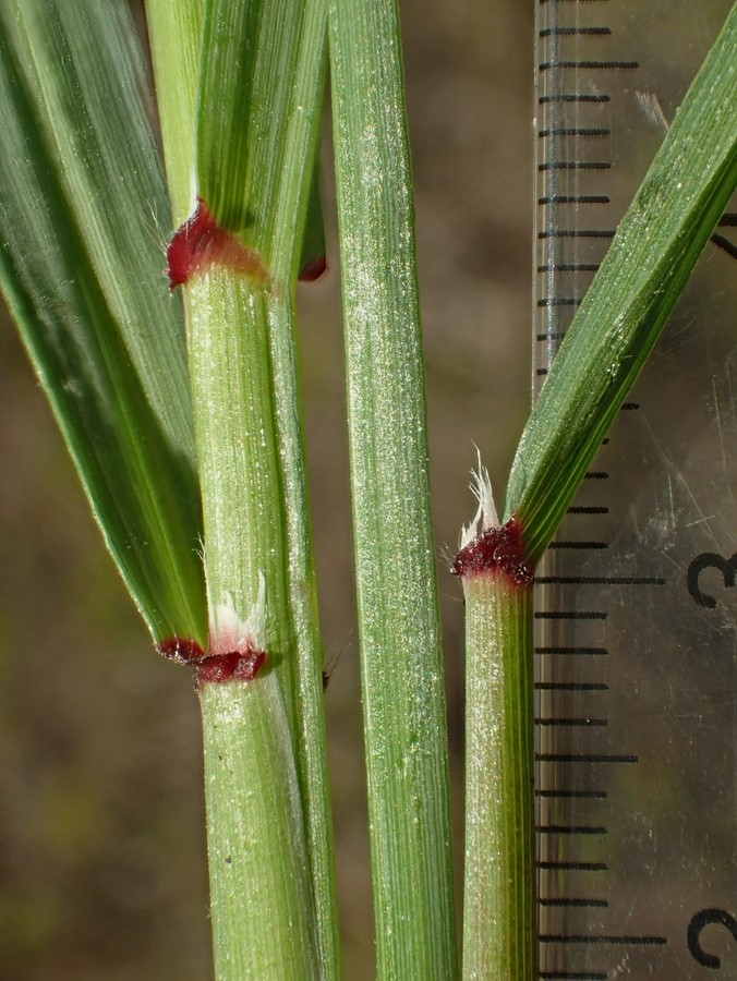 Ehrharta calycina_leaf base and stem_RonVanderhoff