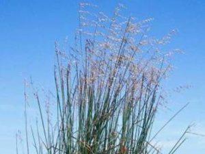 Ehrharta calycina_purple veldtgrass_ JM Di Tomaso