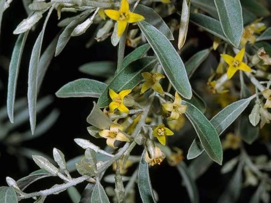 Elaeagnus angustifolia_ Russian olive_JM DiTomaso