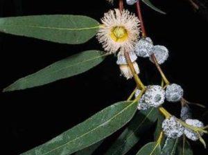 Eucalyptus globulus_Tasmanium blue gum_JM DiTomaso