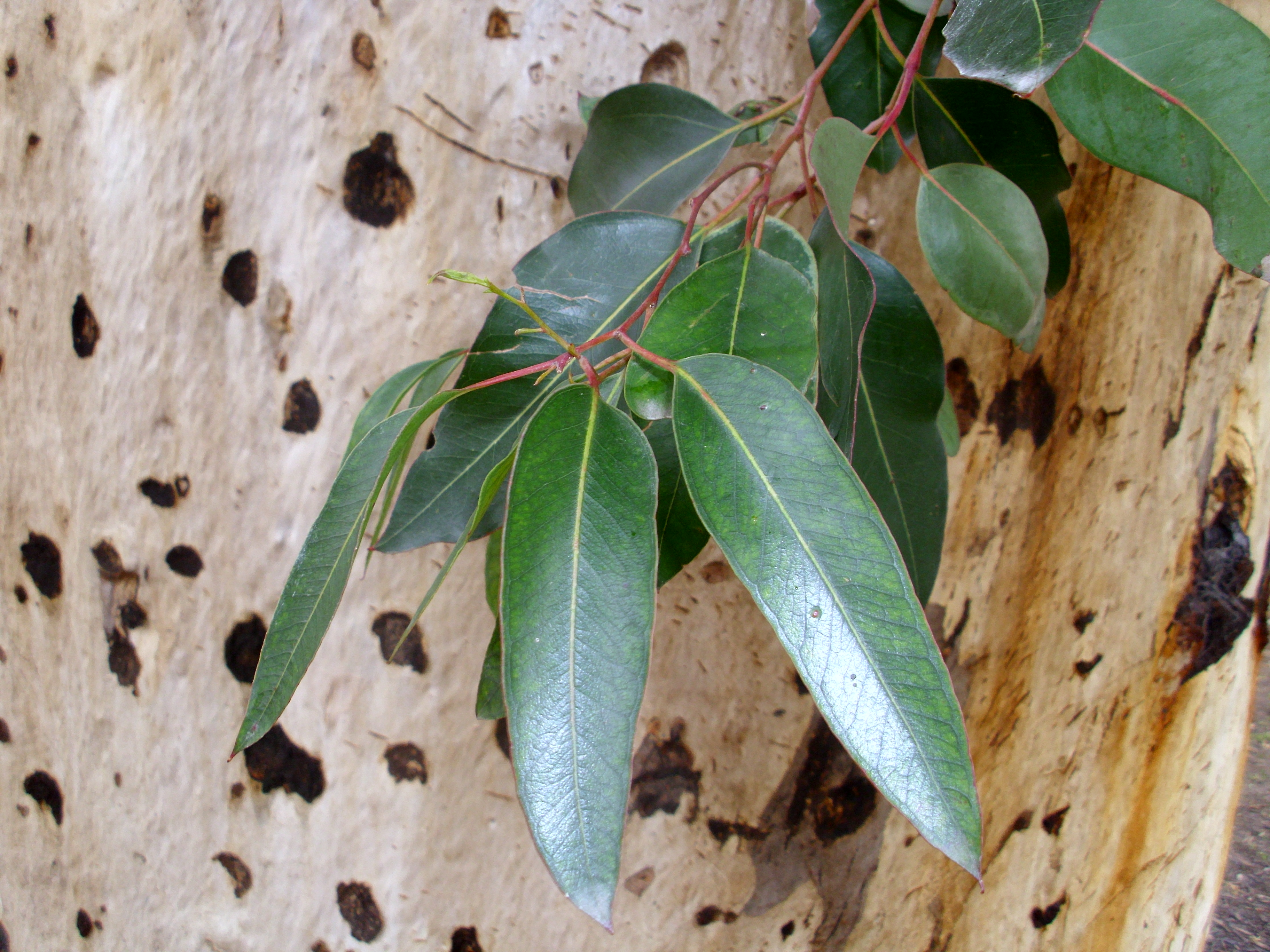 Eucalyptus_cladocalyx_leaves_and_bark by Bidgee