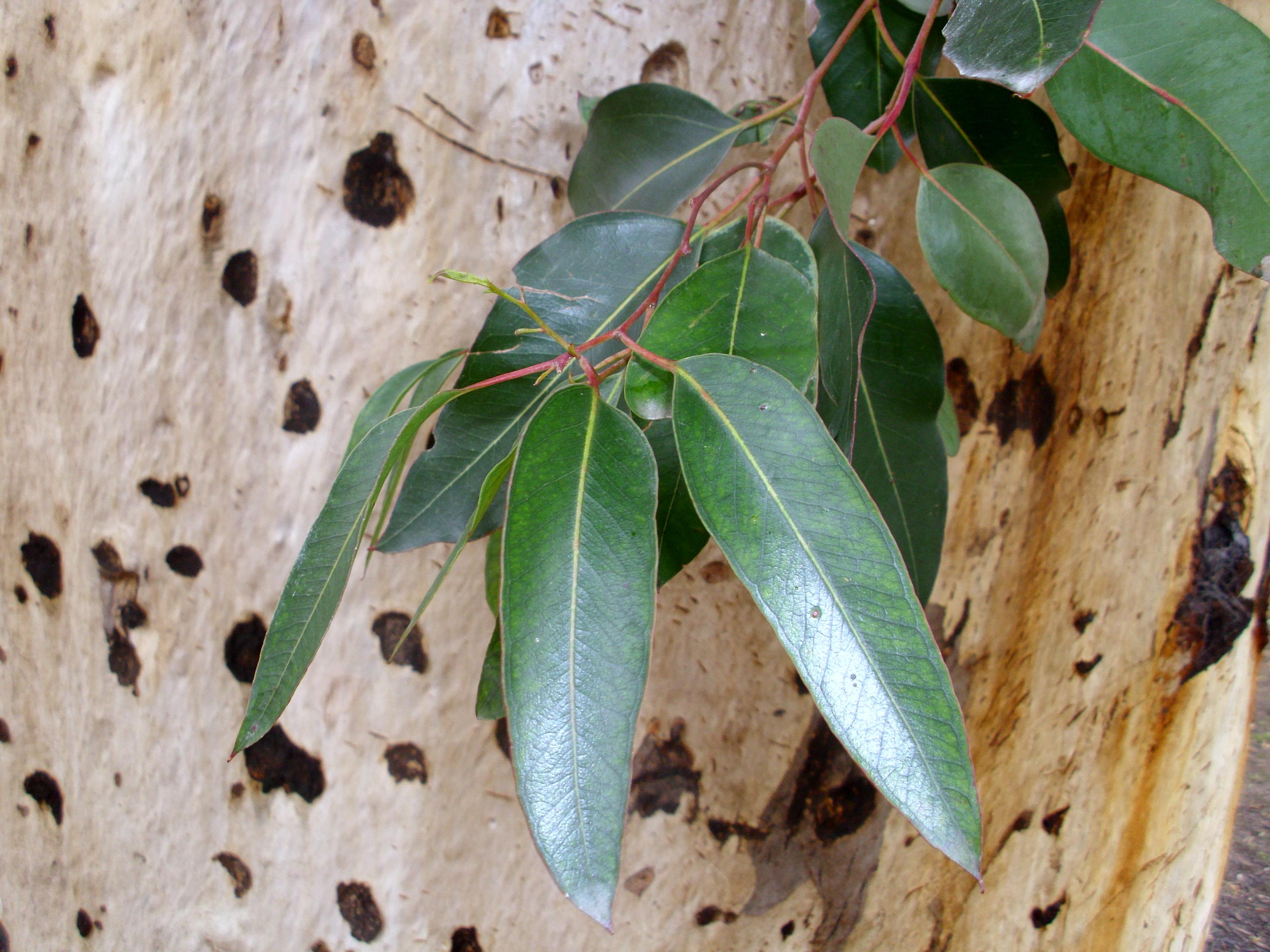 Eucalyptus_cladocalyx_leaves_and_bark by Bidgee