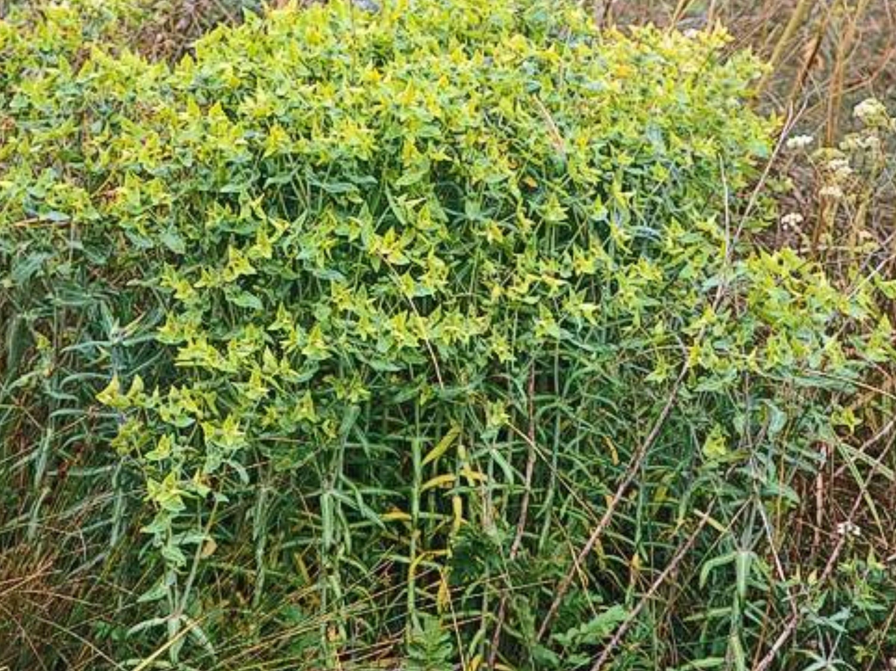 Euphorbia lathyris_C118-01