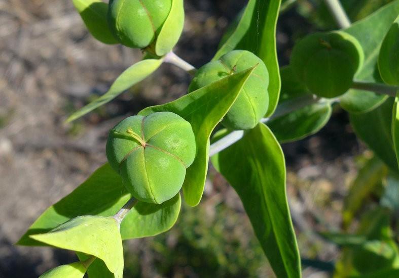 Euphorbia lathyris_ovary (fruit)_copyright 2014_NealKramer