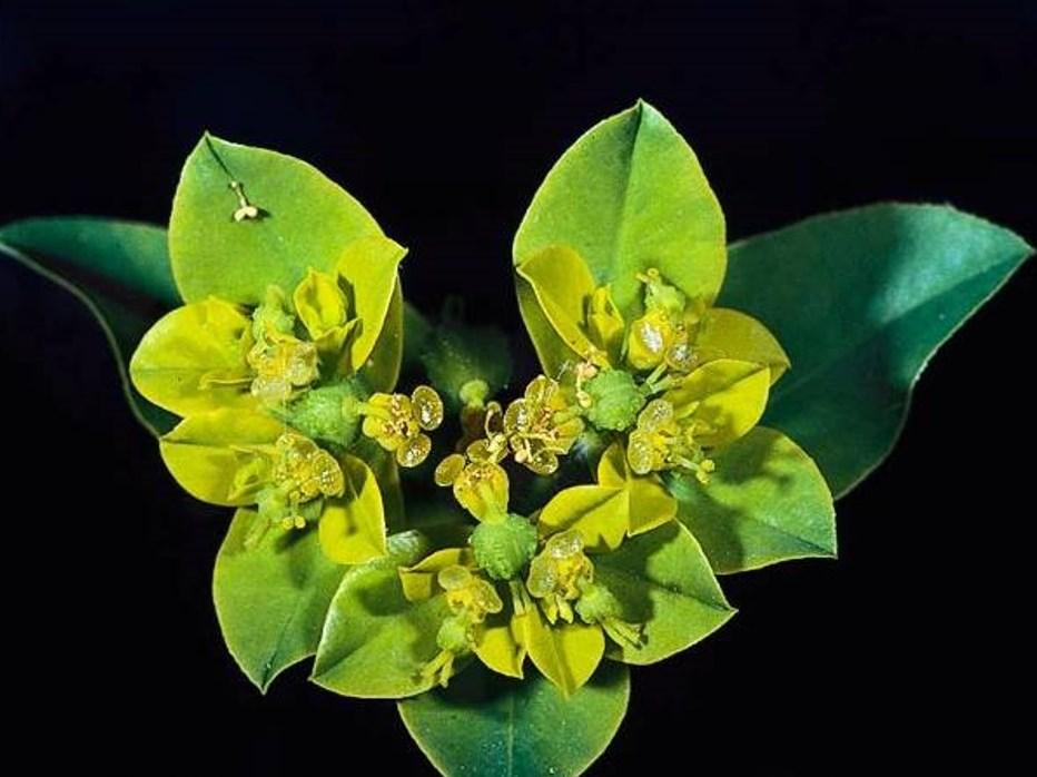 Euphorbia oblongata_oblong splurge_JM DiTomaso