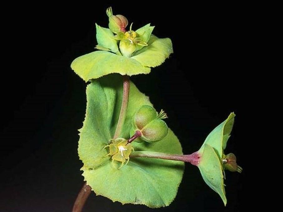 Euphorbia terracina_carnation spurge_JM DiTomaso