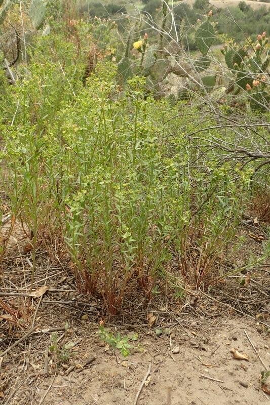 Euphorbia-terracina_growth-habit_RonVanderhoff