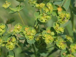 Euphorbia_virgata_by Hermann Schachner