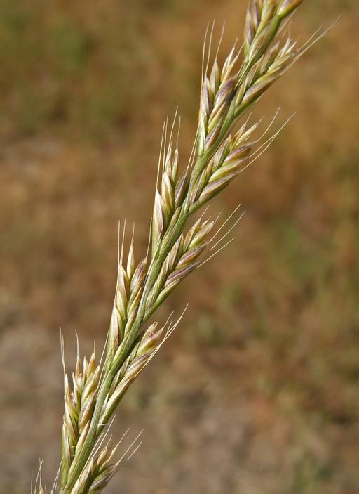 Festuca perennis_flower spikelets (maturing seed)_copyright 2008_NealKramer