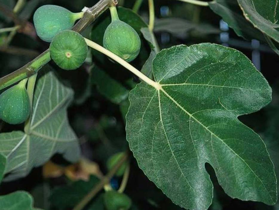 Ficus carica_Fig_ JM Di Tomaso