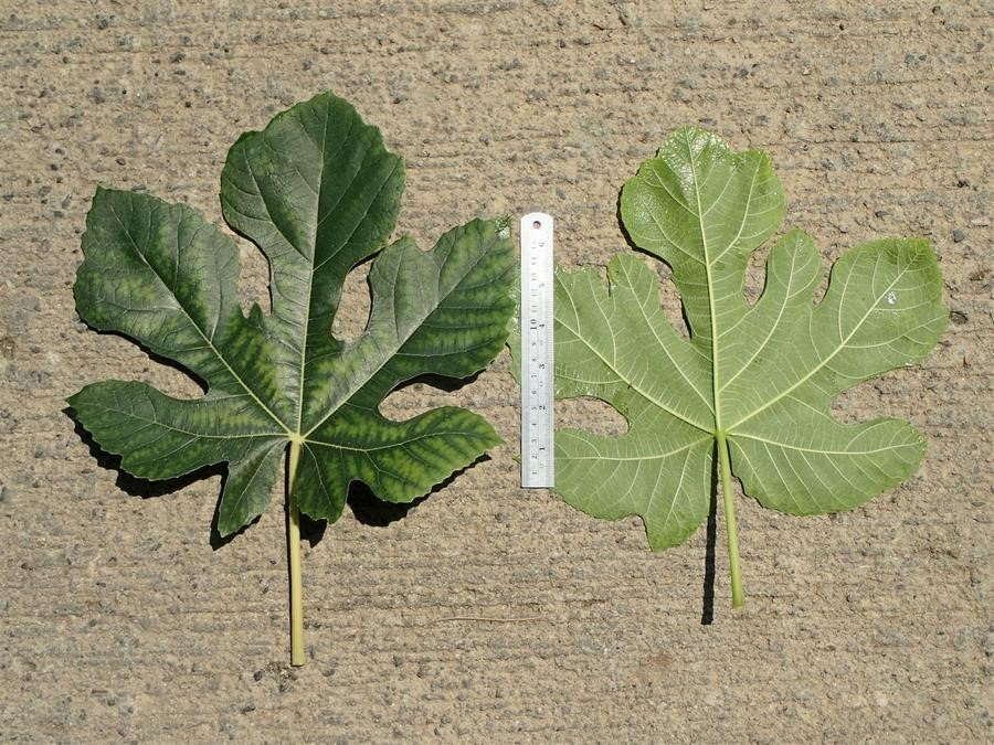 Ficus-carica_leaf-front-and-back_RonVanderhoff