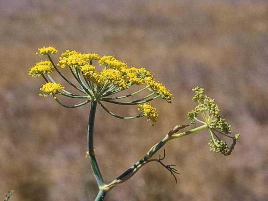 Foeniculum vulgare_ fennel_JM DiTomaso_cropped
