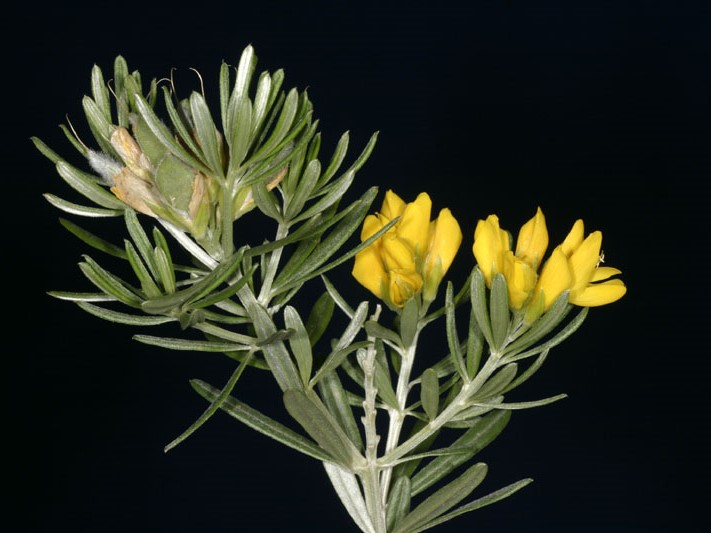 Genista linifolia_leaves, stem, flowers, and immature seed pods_JM DiTomaso
