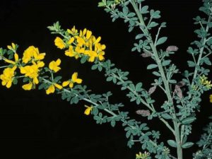 Genista monspessulana_French broom_JM DiTomaso