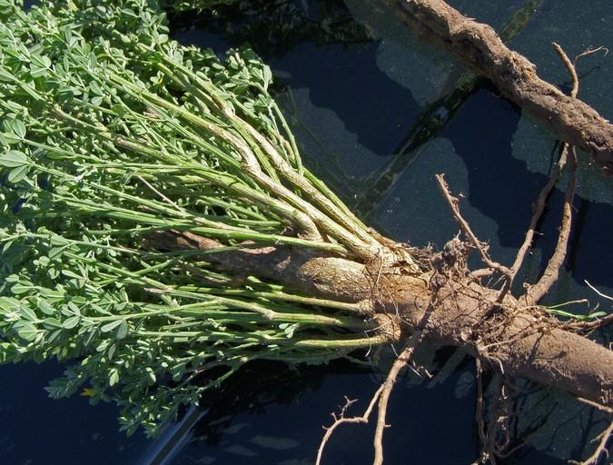 Genista monspessulana_mature plant with taproot_copyright 2009_NealKramer