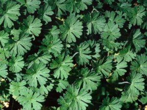 Geranium dissectum_ cutleaf geranium_ JM Di Tomaso