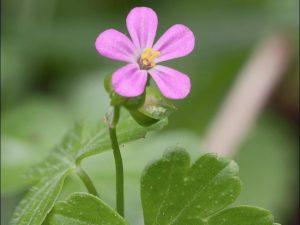 Geranium lucidum_Dr. Amadej Trnkoczy