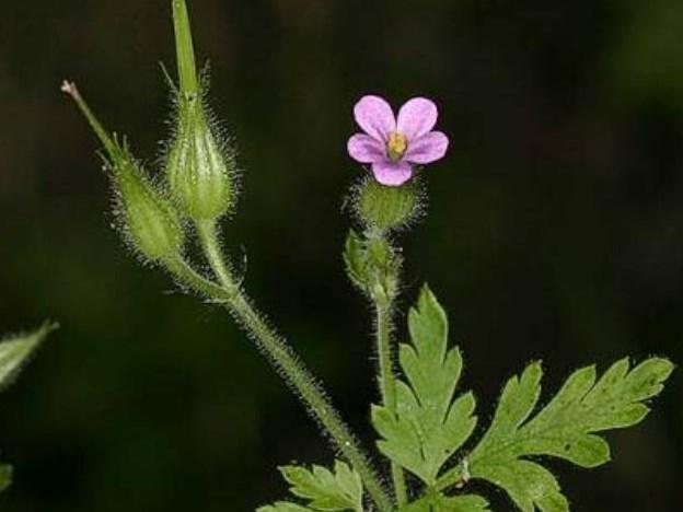 Geranium purpureum_C140-25