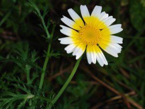Glebionis coronaria crown daisy by Alves Gaspar
