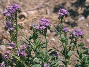 Heliotropium amplexicaule_C071-11