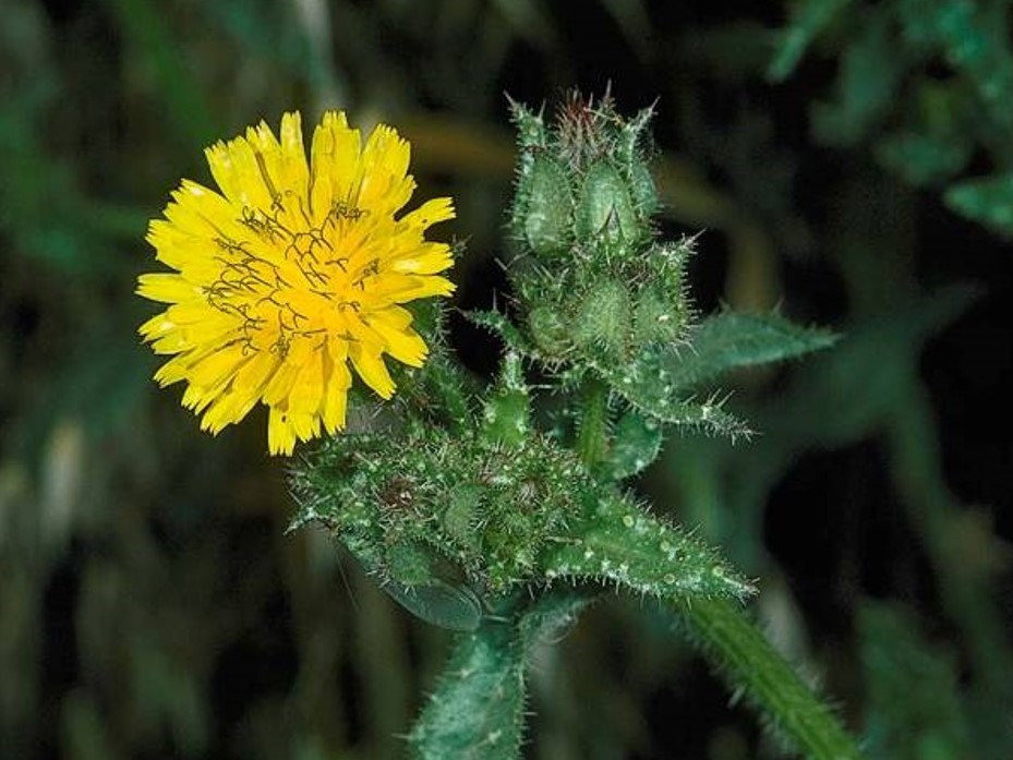 Helminthotheca echioides_bristly oxtongue_JK Clark_cropped