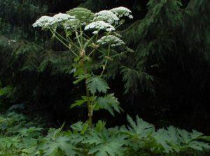 Heracleum mantegazzianum_Fritz Geller-Grimm Wikimedia