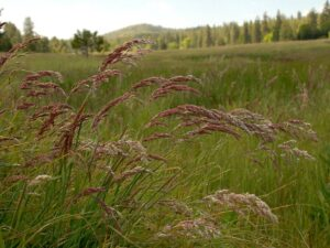 Holcus lanatus_common velvet grass_Barry Breckling_cropped
