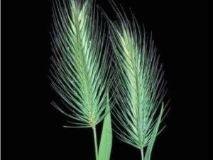 Hordeum marinum_Mediterranean barley_ JM Di Tomaso