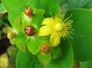 Hypericum androsaemum_Nova Wikimedia