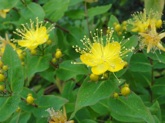 Hypericum grandifolium_Eric Wrubel_NPS